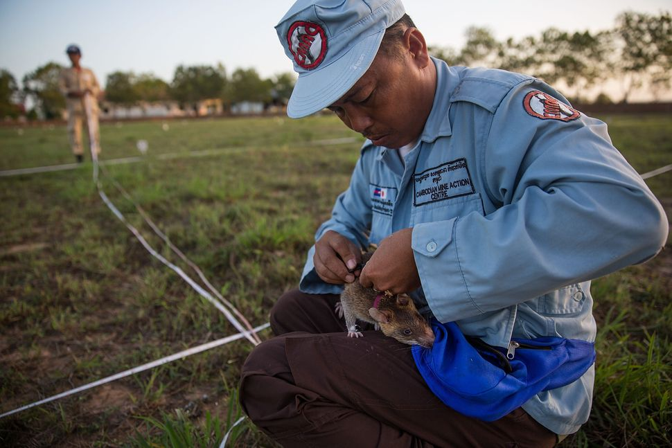 A mine detection rat with its handler.