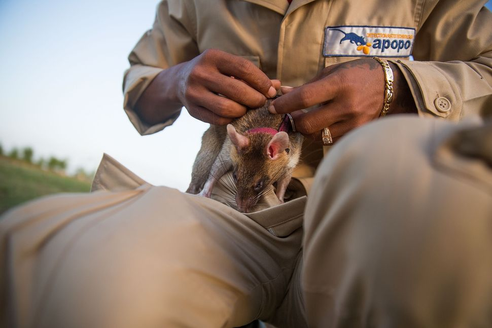 A handler puts a leash on a mine detection rat before a training session.