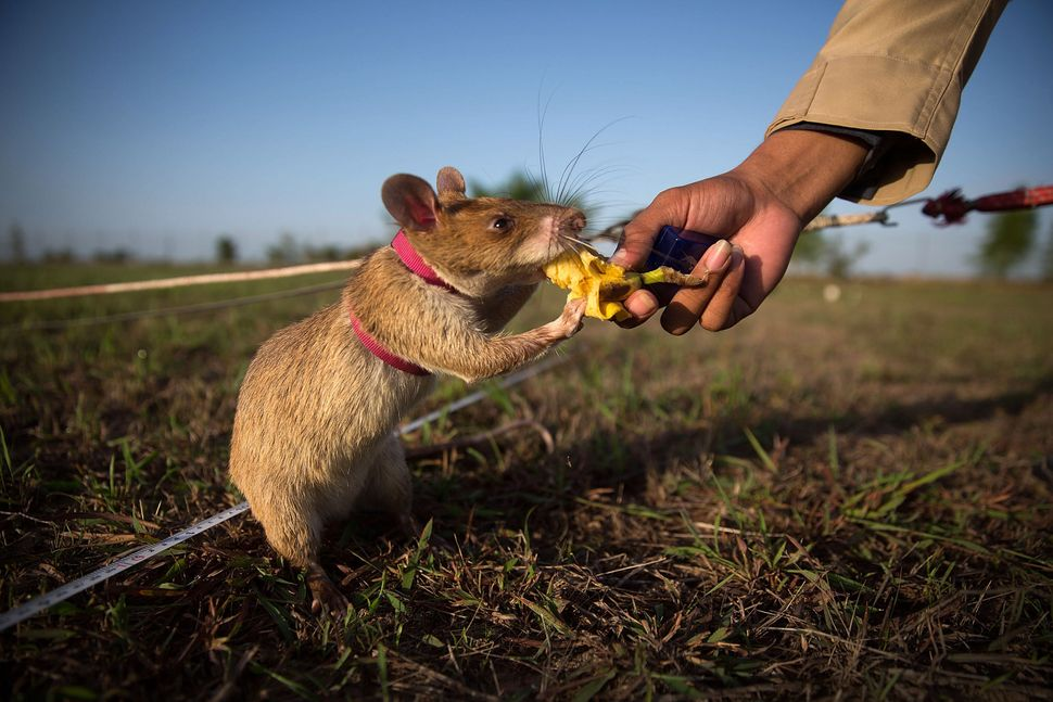 This rat receives a banana as a reward after successfully identifying an inactive mine.
