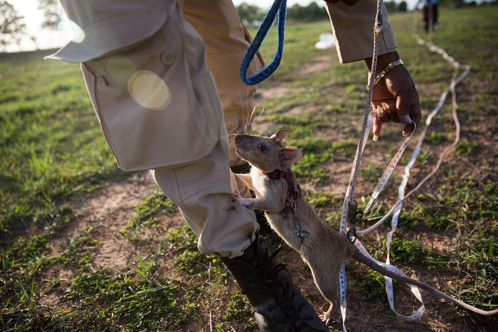 A rat climbs on a handler's leg after finishing the morning's training.