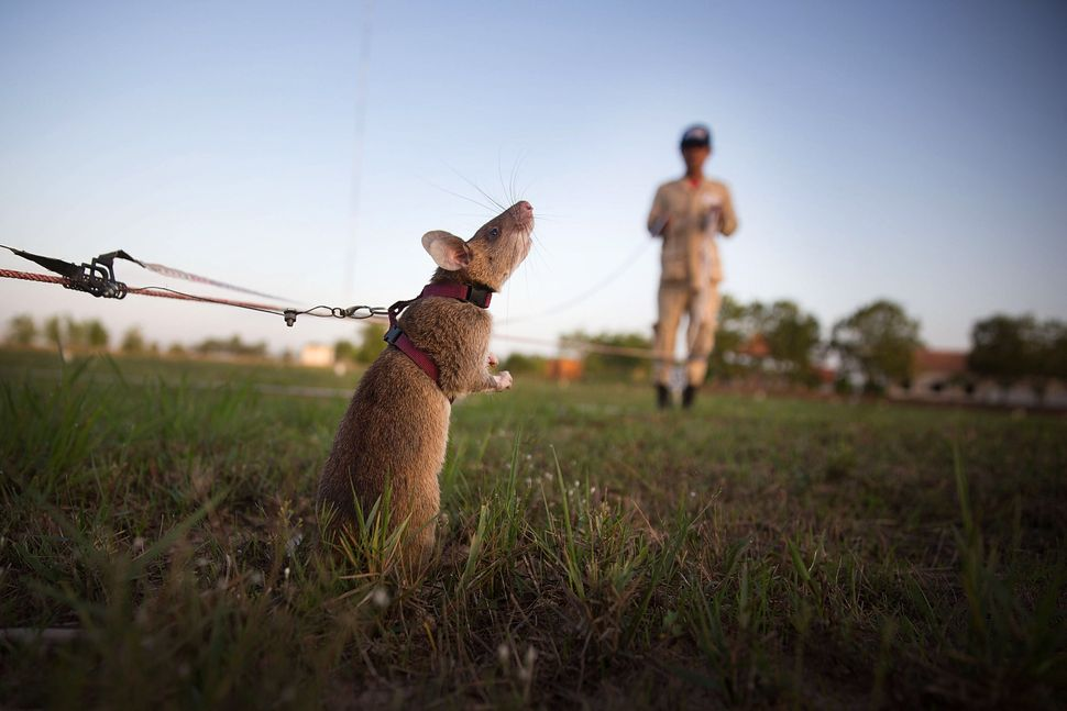 A rat searches for land mines and unexploded ordnance during a training session.