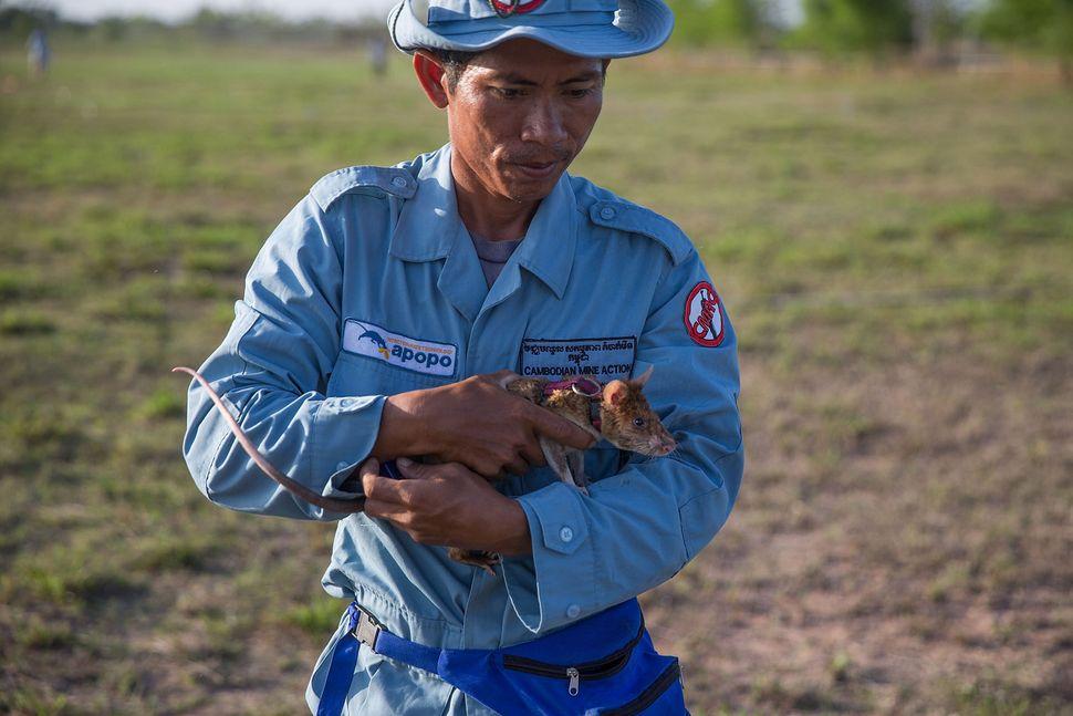 A handler carries a rat to an enclosure.