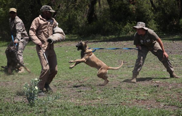 """In this photo taken Wednesday, Nov. 26, 2014 a dog is edged on to attack a """"rhino poacher"""" left, in a simulation exercise sho"""