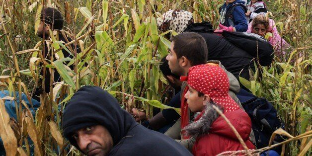 ROSZKE, HUNGARY- SEPTEMBER 11: Refugees try to hide himself from the police in a cornfield near the Hungarian - Serbian borde