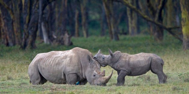 It's Not Too Late to Save the Rhino | HuffPost