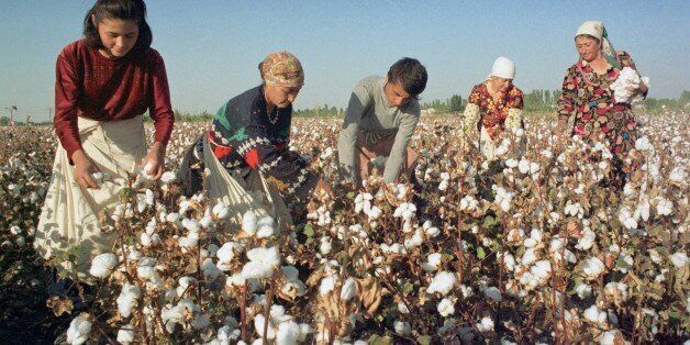 Uzbekistan, october 14, the first million of tons of raw cotton was picked up by uzbek cotton-growers, the abundant crop of c
