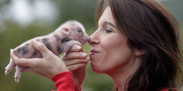 (GERMANY OUT) Memleben Erlebnistierpark Nachwuchs bei den Micro Pigs den Micro Schweinen Mikro Schweine  , der kleinsten Schw