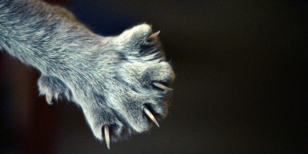 Nails of gray cat.