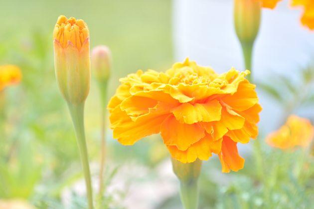 «Τα λουλούδια με τα οποία στολίζεται ο Επιτάφιος έχουν μαγική δύναμη αν είναι από ξένους