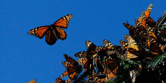 Monarch butterflies fly at the El Rosario butterfly sanctuary on a mountain in the Mexican state of Michoacan...