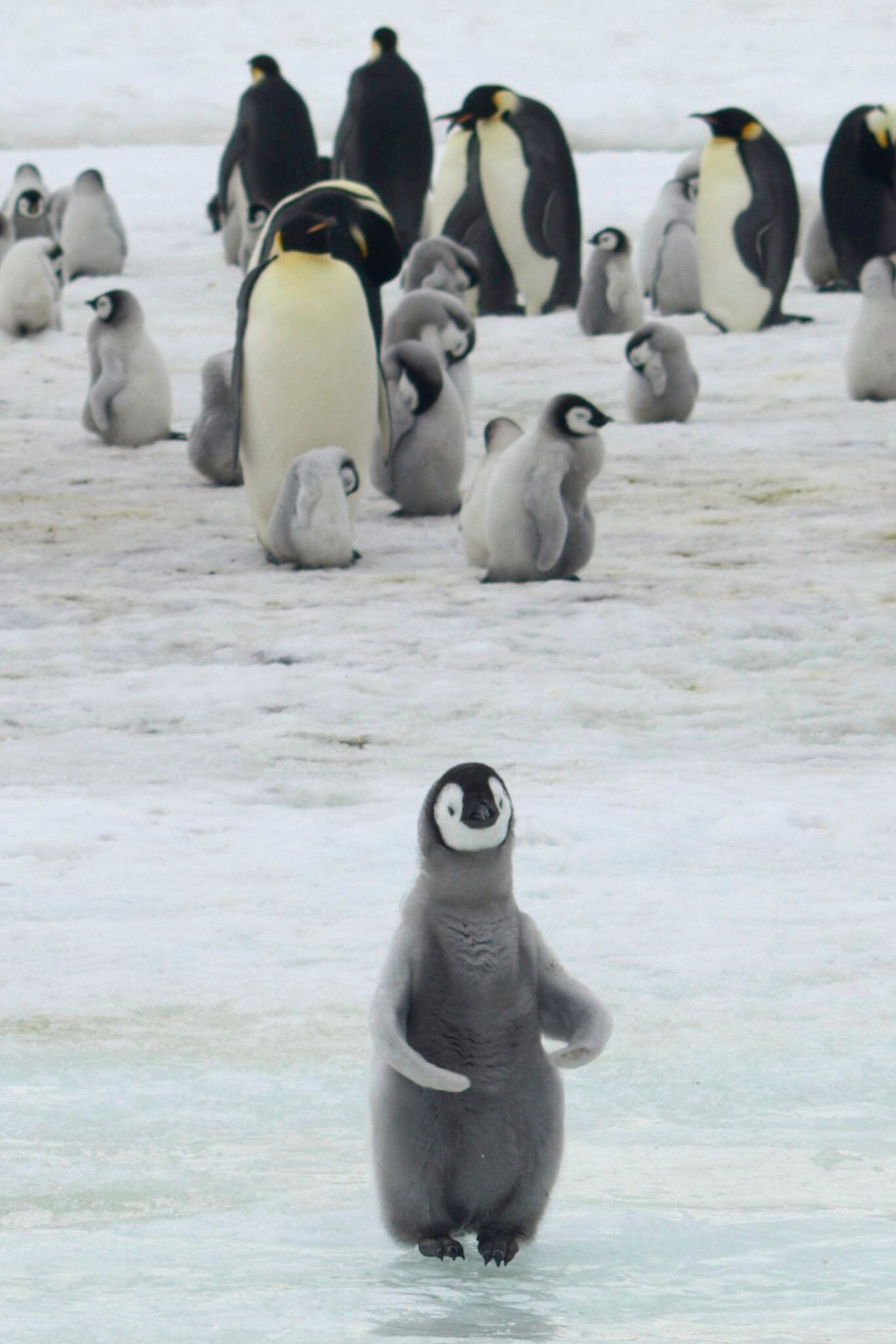 Emperor penguin chicks at Antarctica's Halley Bay. (Peter Fretwell/British Antarctic Survey via AP)