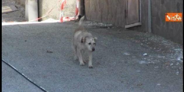Terremoto Centro Italia, un cane si aggira per Accumoli, è lui l'ultimo abitante del