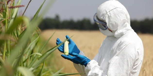 biotechnology engineer examining immature corn cob on
