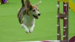 Il beagle è distratto: la gara è un fallimento, ma per il pubblico è lui il