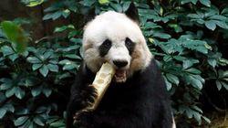 Addio a Jia Jia, il panda più vecchio del