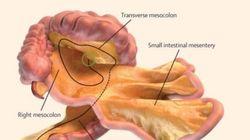 Da oggi il nostro corpo ha un organo in più: è nell'intestino e ha una funzione