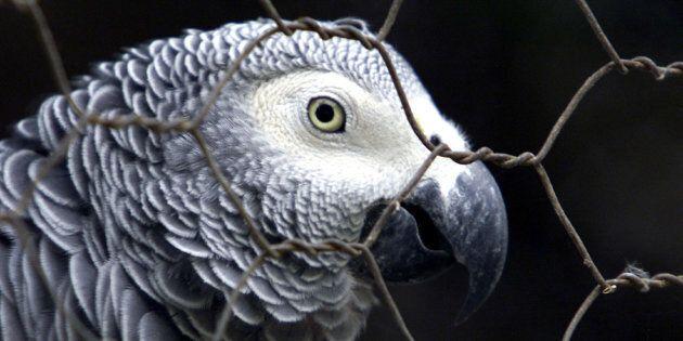 In foto un pappagallo cenerino simile a