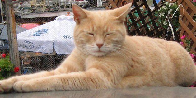 È morto Stubbs, il gatto sindaco di un paese in Alaska. Era in carica da quasi 20