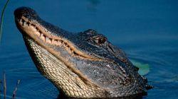 Alligatore trascina bimbo nella palude della Disney . Le autorità: