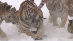 Le tigri siberiane non amano essere filmate: catturano e distruggono il