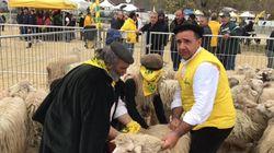 Dalla Sardegna 1000 pecore ai pastori di Cascia: la donazione dei pastori sardi ai terremotati