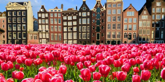 Vibrant pink tulips with canal houses of Amsterdam,