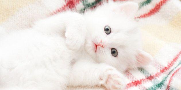 Little white