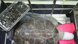 Le 915 monetine estratte da una tartaruga marina agonizzante e una tradizione