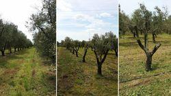 Il Tar del Lazio ha respinto il ricorso della Regione Puglia contro l'espianto degli