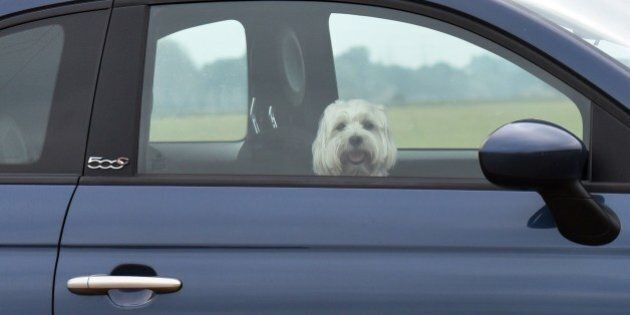 A dog looks out of the window of a car in Coswig, eastern Germany, on August 13, 2015. AFP PHOTO / DPA...