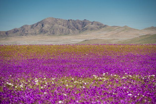 Flowers bloom at the Huasco region on the Atacama desert, some 600 km north of Santiago, on August 26,2017....