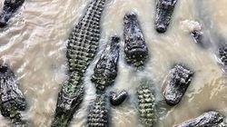 A causa delle inondazioni 350 alligatori minacciano le strade di