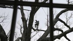 Morto l'albero più vecchio degli Stati Uniti, aveva 600