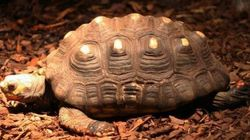 Tartaruga persa nel 1982 ritrovata viva in