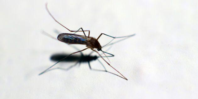 Anzio, tre casi autoctoni di Chikungunya: stop alle donazioni di
