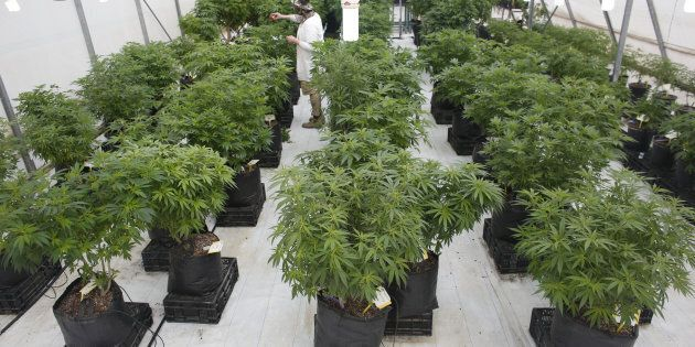 An employee works next to cannabis plants at a medical marijuana plantation in northern Israel March...