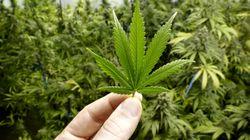Tutti parlano di cannabis tranne chi dovrebbe fare una