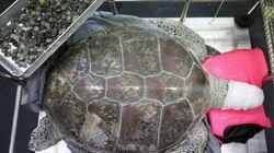 È morta la tartaruga resa un