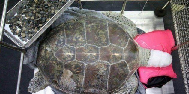 Morta la tartaruga che aveva ingerito quasi mille monetine, era stata operata con successo ma una infezione...