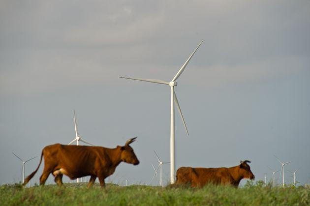 Cattle graze near wind turbines at the Avangrid Renewables' Baffin Wind Power Project in Sarita, Texas,...