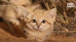 Coda lunga, orecchie appuntite e miagolio impercettibile: i gatti delle sabbie ripresi per la prima