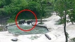 Questa coppia di elefanti ha una lezione di altruismo e coraggio da