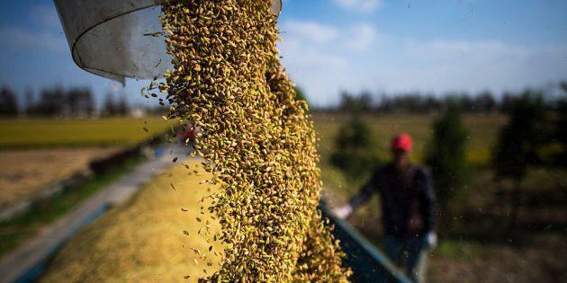 In Cina un nuovo tipo di riso che cresce nell'acqua salata: potrebbe sfamare fino a 200 milioni di