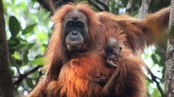Scoperta una nuova specie di orango, ma è già a rischio