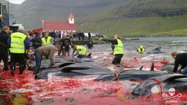 Massacro di delfini e balene nelle Isole Far Oer. Gli abitanti: