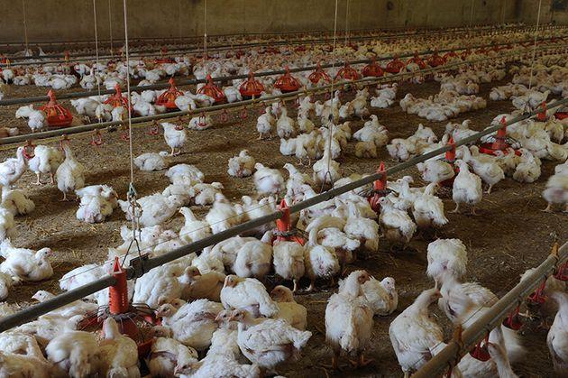10 cose che forse non sai sui polli