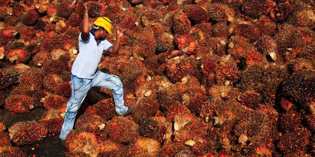 Un operaio intento nell'estrazione in una fabbrica di olio di palma a Sepang, nel Kuala
