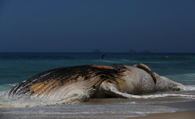Una megattera è stata trovata in stato di decomposizione su una delle più belle spiagge del Brasile