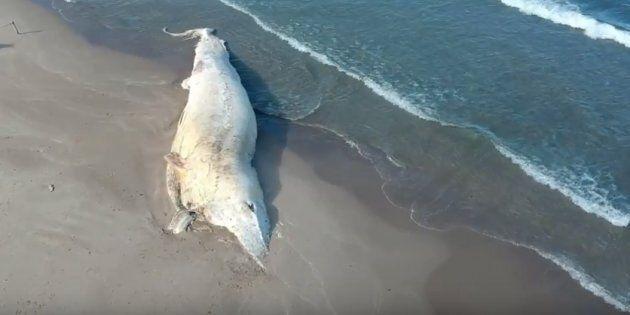 Balena spiaggiata da 45 giorni in Sardegna: nessuno la rimuove per colpa della