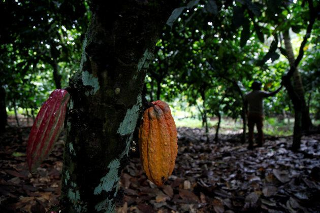 Cocoa pods are seen in a cocoa farm in Anyama, Ivory Coast July 21, 2017. REUTERS/Luc